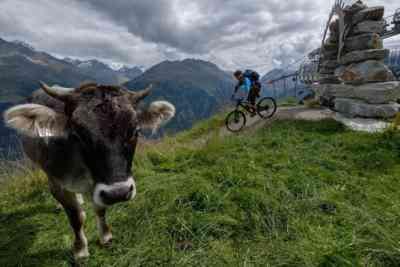 Cow near the Singletrack
